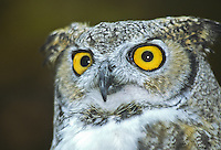 The bright yellow eyes of a Great Horned Owl, (Bubo virginianus).  (captive)