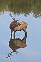 Rocky Mountain Elk (Cervus elaphus)  Reflections of a bull elk in a lake near Estes Park, Colorado.