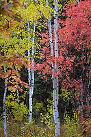 Aspen tree trunks and Fall colors in Utah's Wasatch Mountains.