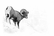 Big Horn Sheep Ram coming down the side of the mountain in the snow