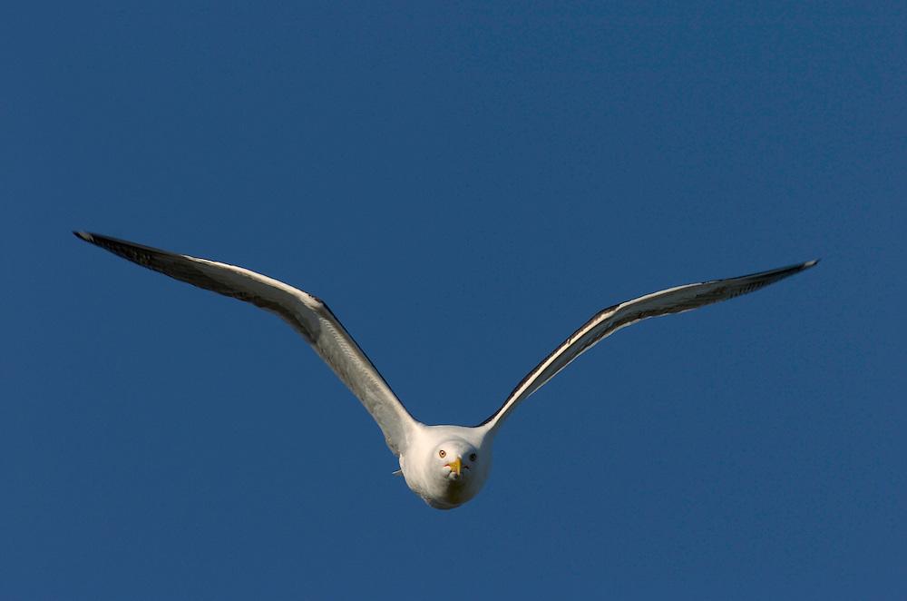 Lesser Black-backed gull, Larus fuscus, Stora Karlsö island, Gotland, Sweden