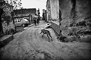 "A female mastiff runs in the middle of the small street of a countrysde of Rawalpindi. Increasingly widespread is the tendency to hold dogs mastiff breed. Pakistan, on friday, December 12 2008.....According to the Islamic tradition, angels do not enter a house which contains dogs. Even if they are considered ""ritually unclean"" by the jurists, the fighting dogs of Pakistan are tolerated by institutions and by believers alike. These mastiffs are grown and trained explicitly for these matches. Spectators in this area flock-in from nearby villages whenever a famous dog is scheduled to enter the arena. And this is more than just a show: entire families base their social esteem on the results of such bloody confrontations."