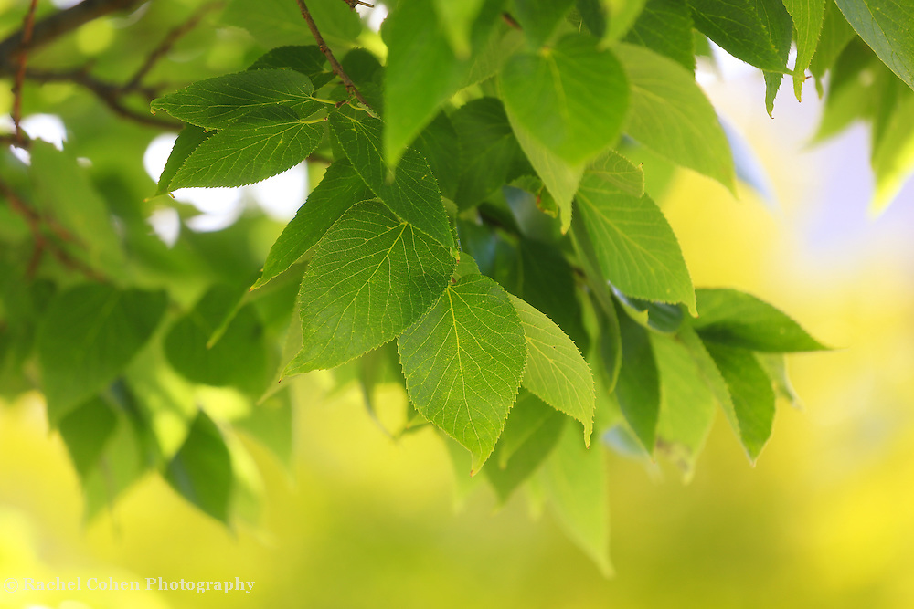 &quot;Green and Yellow&quot;<br /> <br /> Beautiful bright green Elm leaves with a buttery yellow background of early fall color!!
