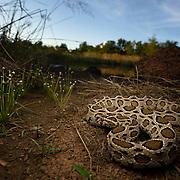 Siamese Russell's Viper, Daboia siamensis