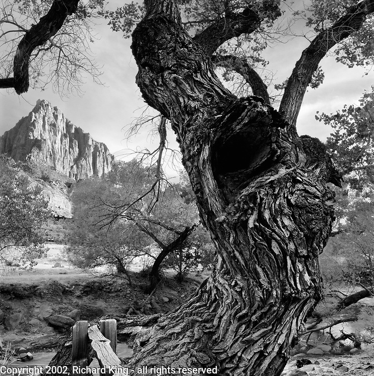 The Old Cotonwood Tree, Zion National Park