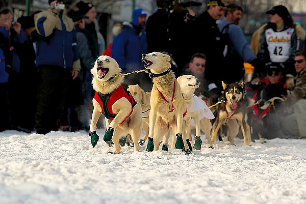 04 March 2006: Anchorage, Alaska - The excited team of blind musher Rachel Scdoris of Bend Ore. bark and jump before the Ceremonial Start in downtown Anchorage of the 2006 Iditarod Sled Dog Race
