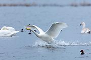 Whooper Swan, Cygnus cygnus, in flight with wings spread wide landing and splashing water at Welney Wetland Centre, Norfolk, UK