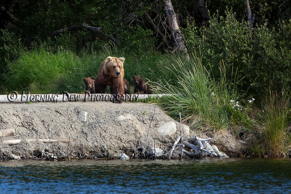 Spring cubs follow thier mother along the shore of Brooks River, Katmai National Park, Alaska