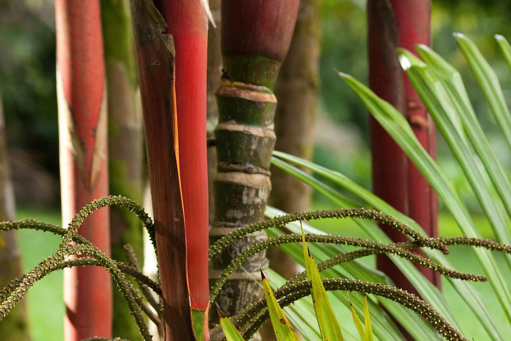 Red bamboo in Lyon arboreteum, Honolulu, HI