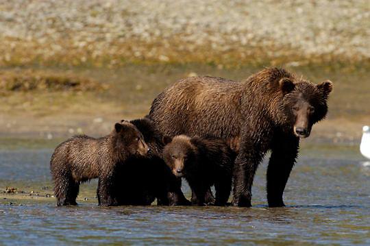 Alaskan Brown Bear (Ursus middendorffi) Mother teaching cubs to fish for salmon. Katmai National Park. Alaska.