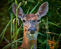 Doe with a head wound at the Sourland Mountain Preserve. Image taken with a Fuji X-T2 camera and 100-400 mm OIS telephoto zoom lens