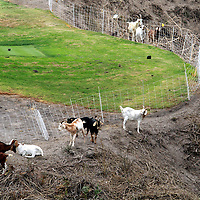 Suzy Katz tees off on the 18th hole at Pasatiempo Golf Course in Santa Cruz, California on October 4 as a herd of brush-clearing goats calmly go about their business. Course officials hired a goat herder to have his animals clear brush and overgrowth on some of Pasatiempo's steeper.