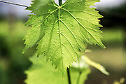 Close up of a vine leaf