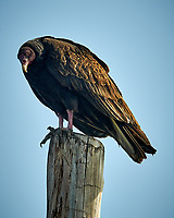 Turkey Vulture on a post at Fort De Soto park in Pinellas County, Florida. Image taken with a Nikon D300 camera and 200 mm f/2 VR lens with a TC-EII 2x teleconverter (ISO 200, 400 mm, f/9, 1/500 sec).