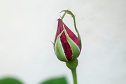 bud of a Red rose in a garden