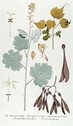 Hand painted botanical study of a Macleaya cordata, the five-seeded plume-poppy syn Bocconia cordata flower anatomy from Fragmenta Botanica by Nikolaus Joseph Freiherr von Jacquin or Baron Nikolaus von Jacquin (printed in Vienna in 1809)