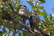 Pair of brown hawk-owls (Ninox scutulata) sleeping in the canopy of Kanha National Park, Madhya Pradesh, India.