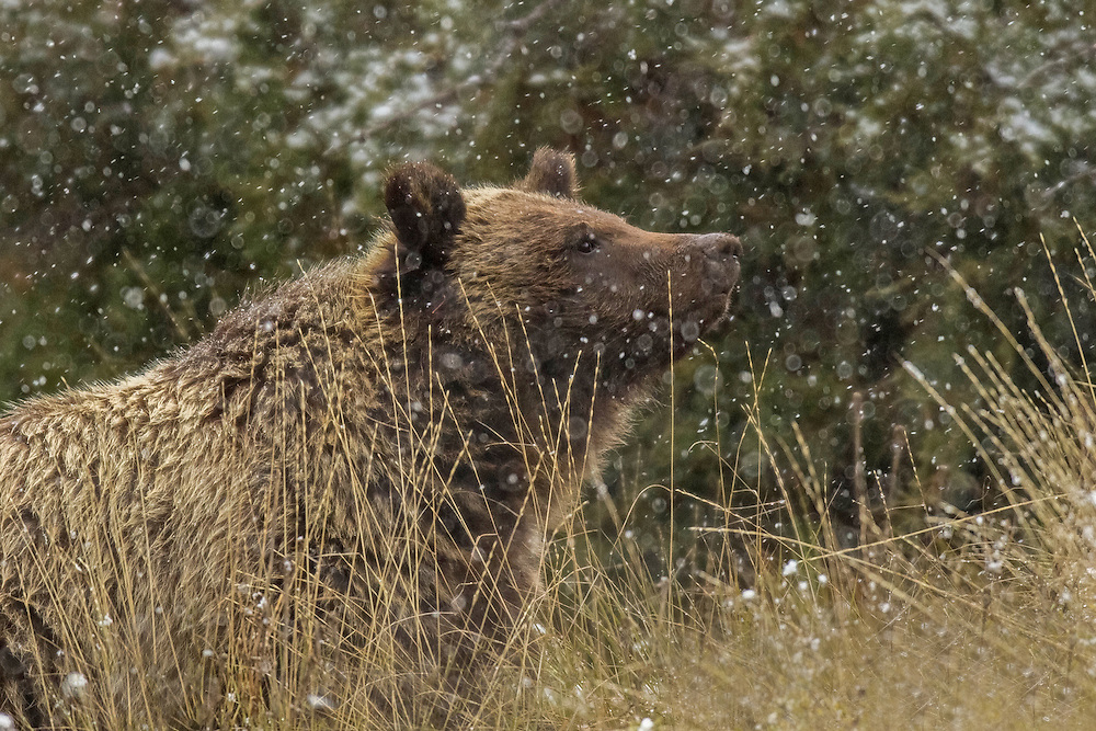 An autumn snowstorm can drive bears, like this grizzly, to the comfort of their den. After sleeping the winter away, they will begin emerging from their long slumber in early spring.