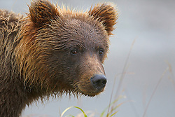 Detailed view of a North American brown bear /  coastal grizzly bear (Ursus arctos horribilis) standing next to a creek, Lake Clark National Park, Alaska, United States of America