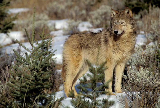Gray Wolf, (Canis lupus) Adult in foothilss of Rocky mountains. Montana. Captive Animal.