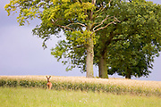 Lone deer by a wheat field in Leafield, Oxfordshire, England, United Kingdom