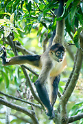 Spider Monkey, Costa Rica
