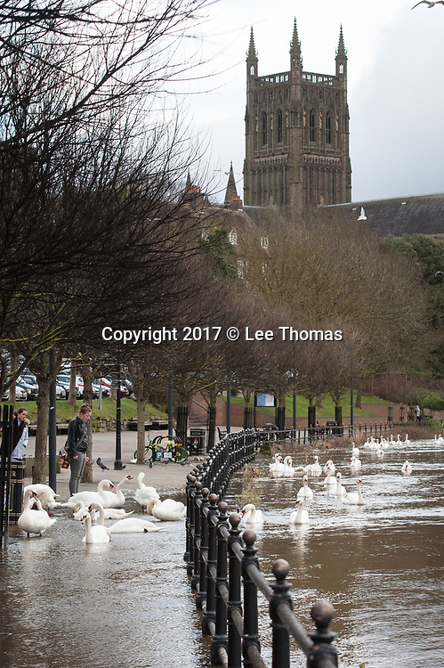 Gloucestershire, Worcestershire, UK. 5th January 2018. River Severn water levels remain high in Gloucestershire and Worcestershire as the Environment Agency issues over a hundred flood warnings for England. Maisemore and Sandhurst in Gloucestershire are at particular risk of imminent flooding according to the Agency with high water levels peaking at around midday today. Pictured:  Swans make the most of the swallon River Severn in Worcester.  // Lee Thomas, Tel. 07784142973. Email: leepthomas@gmail.com  www.leept.co.uk (0000635435)