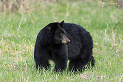 Black bear in Yellowstone National Park, Wyoming