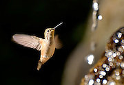 A hummingbird drinks from Huntsmen Spring along Marshall Gulch Trail, Mount Lemmon, Coronado National Forest, Sonoran Desert, Summerhaven, Arizona, USA.