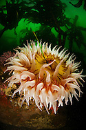 The sea anemone is considered to be the flower of the sea. This one was at the Point Lobos Marine Reserve.