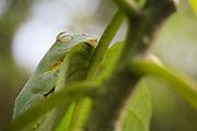 Tree Frog (Rhacophorus bipunctatus) resting on a leaf. Khao Yai National Park. Thailand.