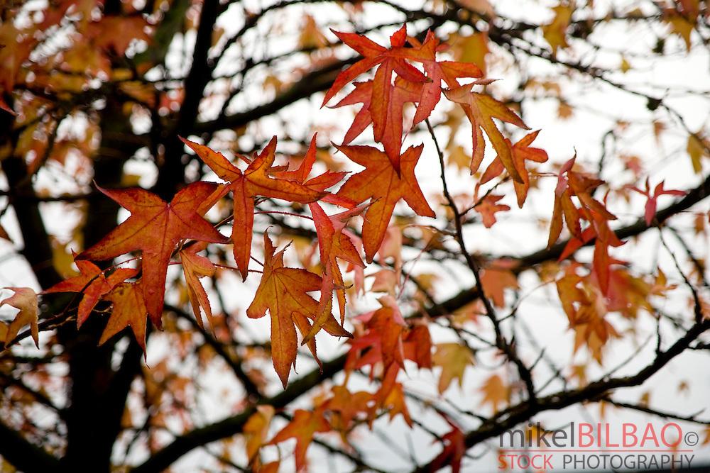 American sweetgum or redgum (Liquiambar styraciflua). Leaves in autumn.