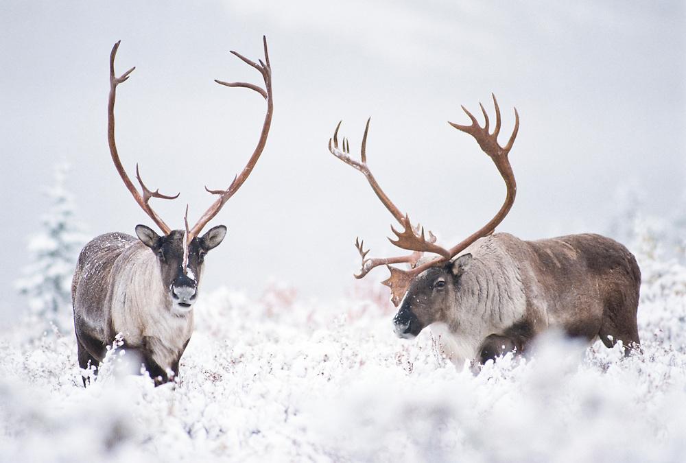 Alaska. Caribou in Winter