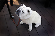 dressed up British bulldog on lease sitting by chair