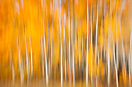 Panned movement of aspen trees with autumn colors. Part of Dancing Tree series.