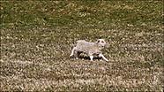 Free range Icelandic lambs