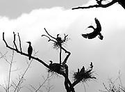 Rostherne 30-4-2013<br /> Cormorants nesting