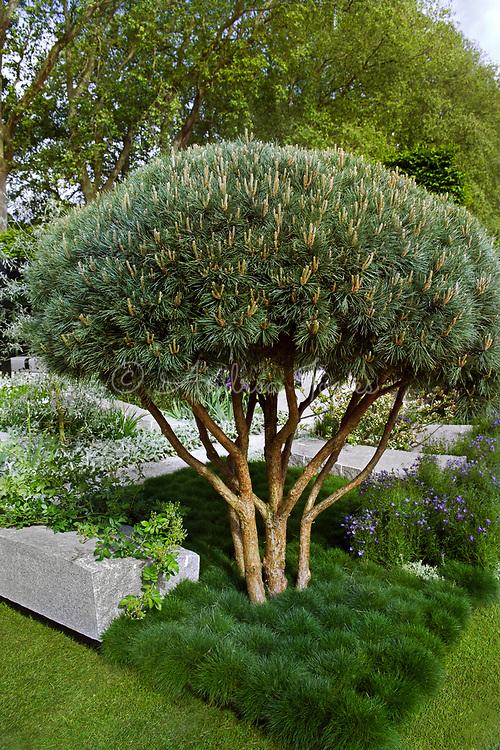 'The Daily Telegraph Garden', RHS Chelsea Flower Show 2009, Gold Medal &amp; Best in Show.<br /> Design by Ulf Nordfjell. <br /> Granite slabs.<br /> Planting includes Pinus sylvestris 'Watereri',&nbsp;Campanula rotundifolia,&nbsp;Festuca gautieri,&nbsp;Stachys byzantina&nbsp;'Silver Carpet' &amp;&nbsp;Rosa 'Rambling Rector'.