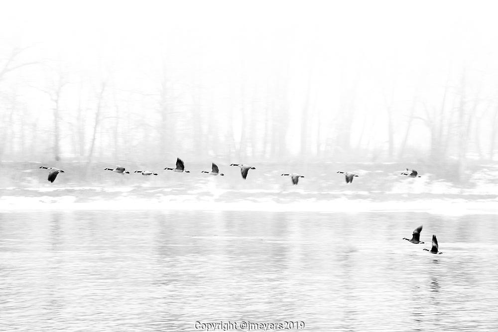 Canada Geese Winter at Harvey's Passage, Calgary Alberta