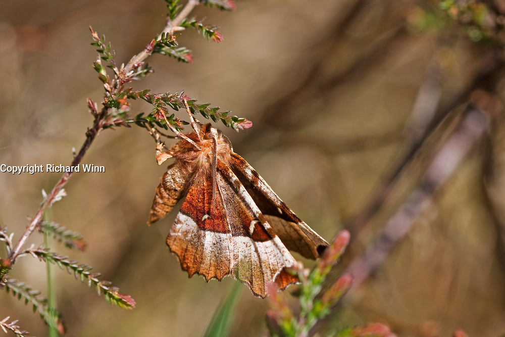 Macro image of a first generation purple thorn, a type of moth, settled on some heather at Loch Ruthven in Scotland.