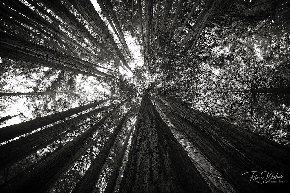 Looking up through redwoods, Limekiln State Park, Big Sur, California USA