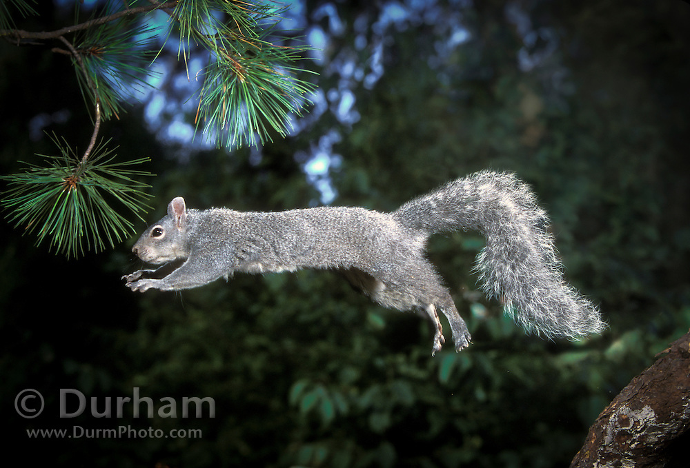 A western gray squirrel (Sciurus griseus) jumps from a tree limb in the Dechutes National Forest, Oregon. (2 of 2)