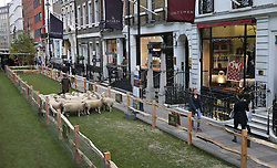 © Licensed to London News Pictures. 05/10/2015. London, UK. Wool Week 2015 is launched as Savile Row is transformed with sheep and grass.  Photo credit: Peter Macdiarmid/LNP
