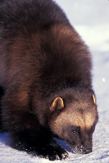 Wolverine, (Gulo gulo) Sniffing snow. Winter. Rocky mountains. Montana.  Captive Animal.