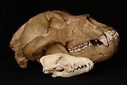 Kodiak bear skull (Ursus arctos middendorffi) shown with a coyote skull (Canis latrans) for scale.