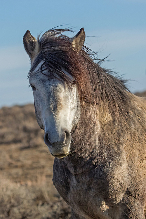 With his mane blown by the ever-present wind, the curious grey stallion, San Jose, pauses for a moment at McCullough Peaks Herd Management Area outside Cody, Wyoming.