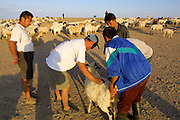 GOBI DESERT, MONGOLIA..08/29/2001.Tzochorinam, gers belonging to the family of wealthy camel herder and local hero Chimiddorj (r.). Selecting sheep to be slaughtered in honour of guests..(Photo by Heimo Aga).