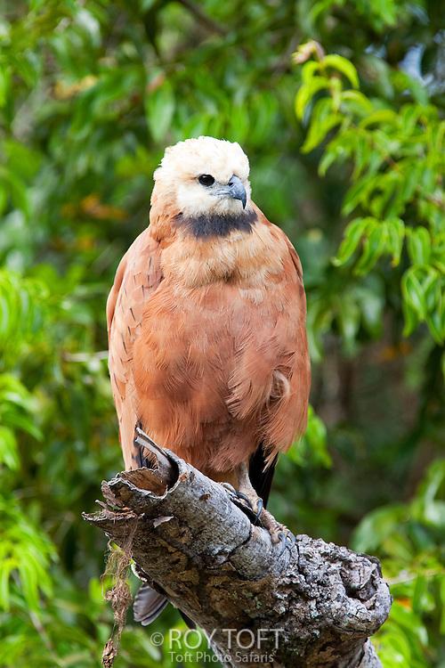 Portrait of a black-collared hawk