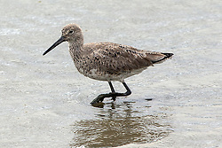 Long-billed Dowitcher (Limnodromus scolopaceus) Baylands Nature Preserve, Palo Alto, California, United States of America