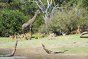 Tanzania wildlife safari A giraffe and a herd of Impala Aepyceros melampus